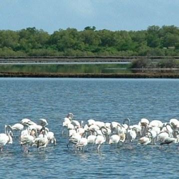 Saadani flamingo